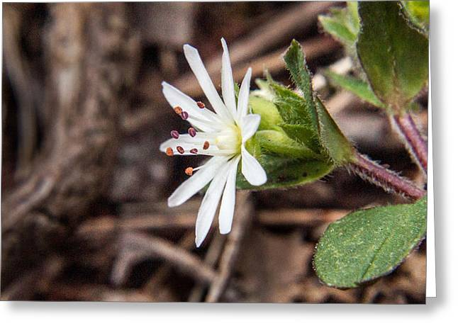 Bloodroot Greeting Cards - Woodland Flower 20 Greeting Card by Douglas Barnett