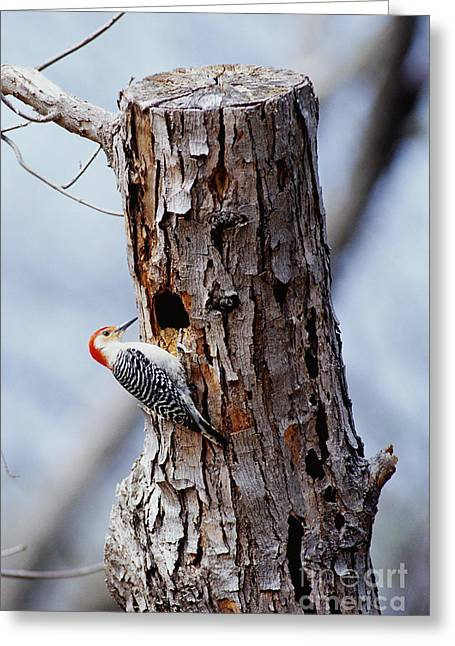 Woodpecker Greeting Cards - Woodpecker And Starling Fight For Nest Greeting Card by Gregory G. Dimijian