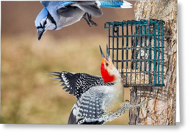 Woodpeckers And Blue Jays Square Greeting Card by Bill Wakeley