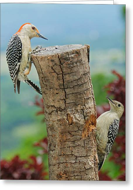 Woodpecker Greeting Cards - Woody Mommy And Baby 2 Greeting Card by Lara Ellis