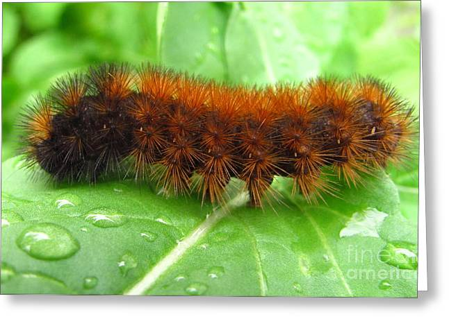 Wooly Bear  Greeting Card by Joshua Bales
