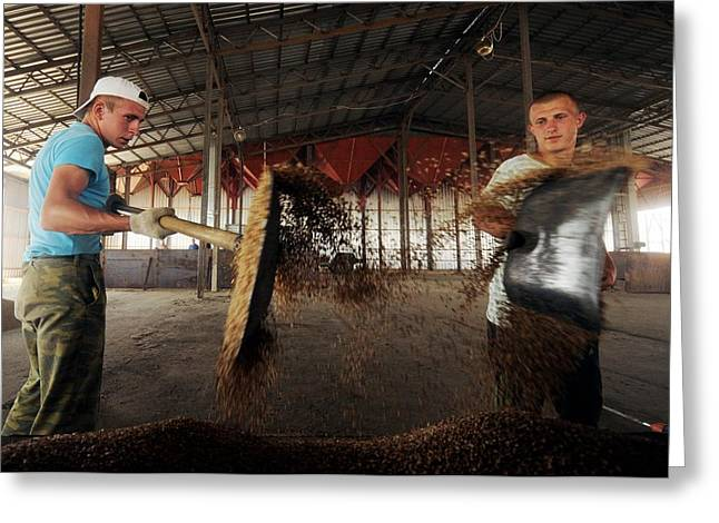 Manual Greeting Cards - Workers in a threshing barn Greeting Card by Science Photo Library