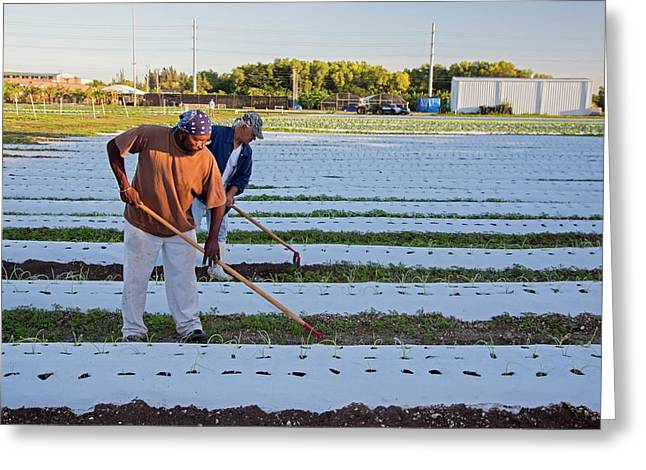 Workers On An Organic Farm Greeting Card by Jim West