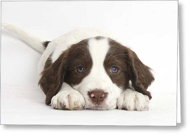 Working Dog Greeting Cards - Working English Springer Spaniel Puppy Greeting Card by Mark Taylor