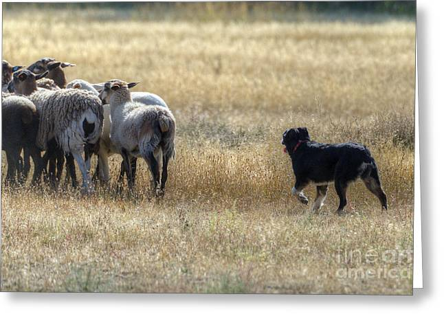 Working Dog Greeting Cards - Working Sheep Greeting Card by Dianne Phelps