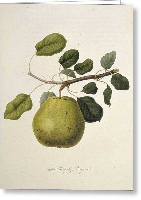 One Pear Greeting Cards - Wormsley Bergamot Pear (1818) Greeting Card by Science Photo Library