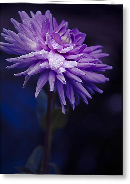 Aster Greeting Cards - Worton Blue Streak Dahlia Greeting Card by Julie Palencia