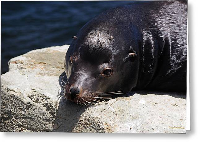 Susan Wiedmann Greeting Cards - Wounded Sea Lion Resting Greeting Card by Susan Wiedmann