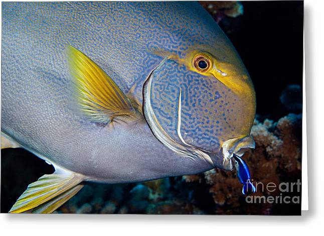 Surgeonfish Greeting Cards - Wrasse Cleaning Surgeonfish Greeting Card by David Fleetham