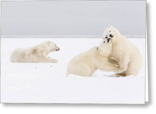 Polar Bear Standing Greeting Cards - Wrestling by Mom Greeting Card by Tim Grams