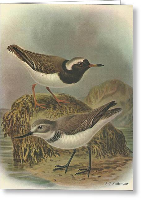 Audubon Greeting Cards - Wrybill and Shore Plover Greeting Card by J G Keulemans