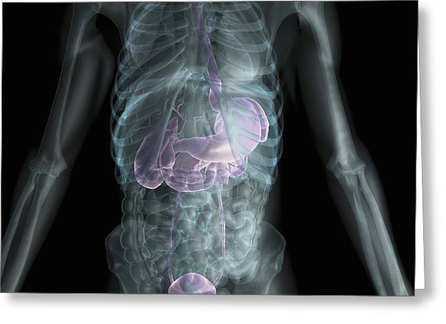 Abdominal Greeting Cards - X-ray Anatomy Greeting Card by Science Picture Co