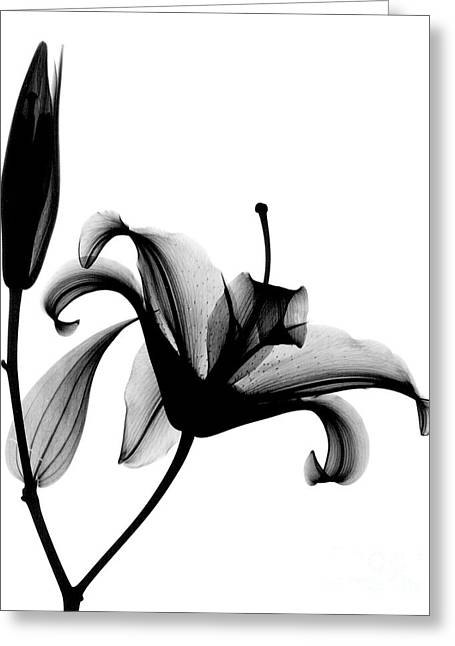 Radiograph Greeting Cards - X-ray Of A Lily Greeting Card by Bert Myers