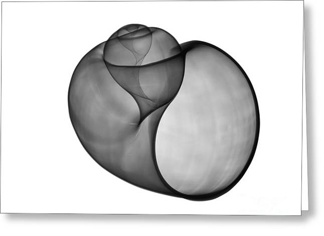 Radiograph Greeting Cards - X-ray Of Florida Apple Snail Greeting Card by Bert Myers