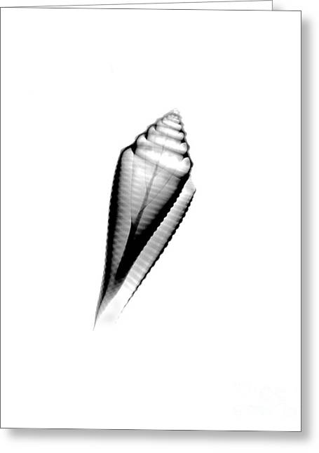 Cone Shells Greeting Cards - X-ray Of Orbignys Cone Greeting Card by Bert Myers