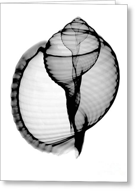 Science Collection - Greeting Cards - X-ray Of Scotch Bonnet Greeting Card by Bert Myers