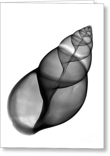 Radiograph Greeting Cards - X-ray Of Snail Shell Greeting Card by Bert Myers