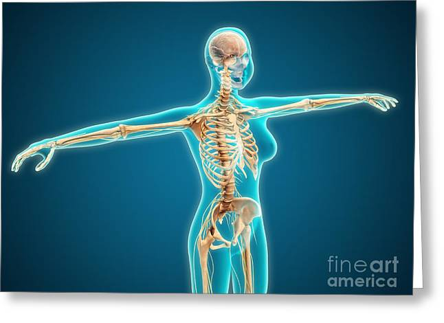 Costae Fluitantes Greeting Cards - X-ray View Of Female Body Showing Greeting Card by Stocktrek Images