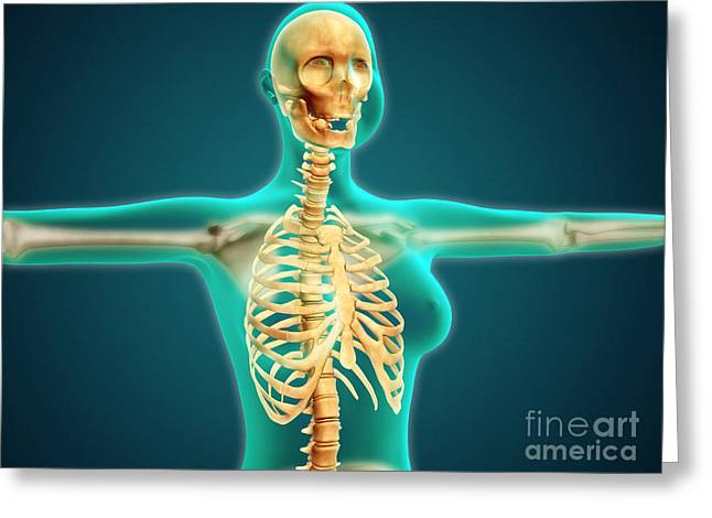 Costae Fluitantes Greeting Cards - X-ray View Of Female Upper Body Showing Greeting Card by Stocktrek Images