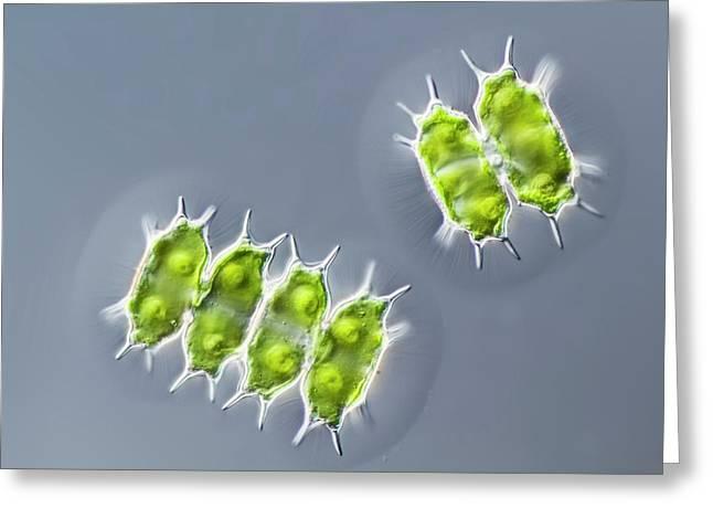 Xanthidium Antilopaeum Green Alga Greeting Card by Gerd Guenther