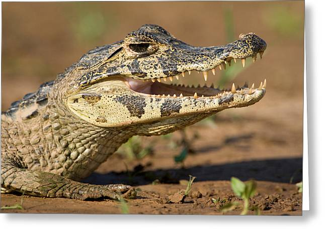 Vertebrate Greeting Cards - Yacare Caiman Caiman Crocodilus Yacare Greeting Card by Panoramic Images