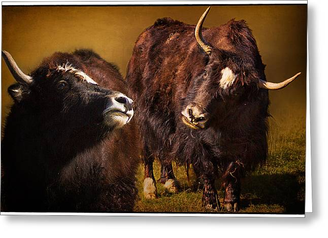 Mancos Greeting Cards - Yak Love Greeting Card by Priscilla Burgers