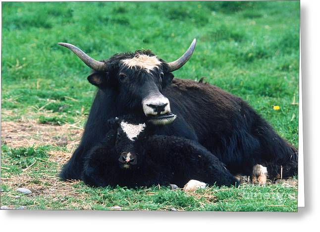 Yak Greeting Cards - Yak Greeting Card by Mark Newman