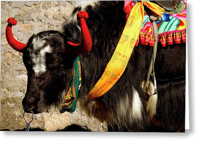 Yak Wearing Knitted Decorative Horn Greeting Card by Jaina Mishra