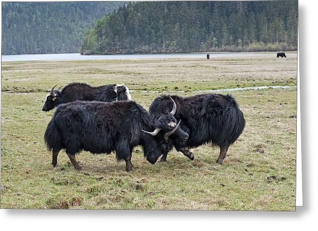 Yaks Fighting In Potatso National Park Greeting Card by Tony Camacho