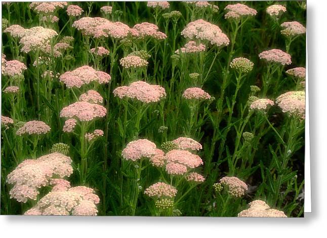 Lush Green Digital Greeting Cards - Yarrow Field Greeting Card by Gothicolors Donna Snyder