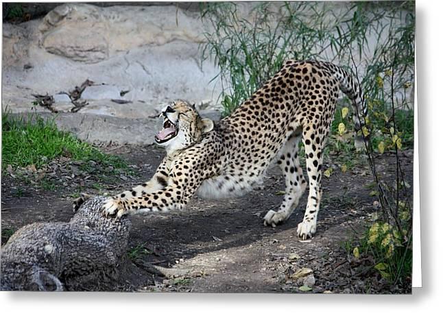 Leopard Running Greeting Cards - Yawn Greeting Card by Jeff Tuten