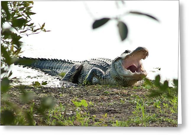 Yawning Gator At Green Cay Boynton Beach Florida Greeting Card by Michelle Wiarda