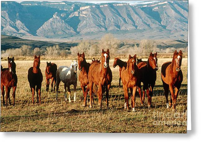 Yearling Horse Greeting Cards - Yearlings Horses Greeting Card by Adam Sylvester