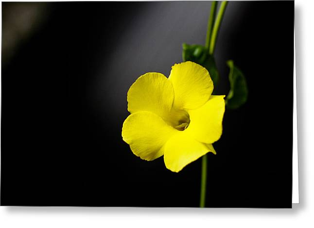 Donald Chen Greeting Cards - Yellow Allamanda Greeting Card by Donald Chen