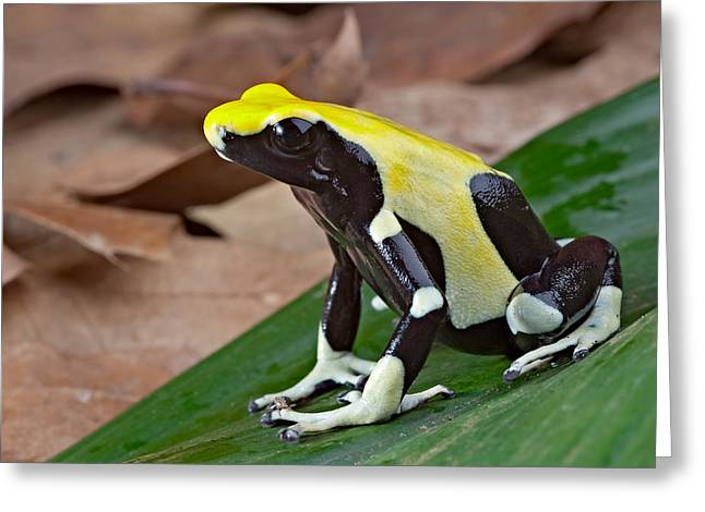 Guyana Greeting Cards - Yellow And Black Poison Dart Frog Greeting Card by Dirk Ercken