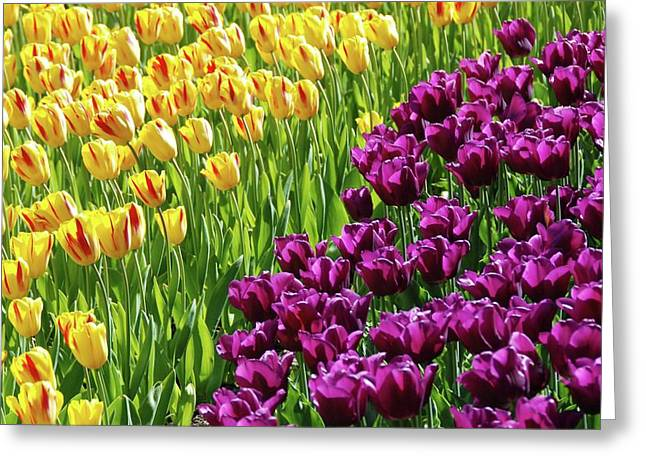Pinks And Purple Petals Greeting Cards - Yellow and Purple Tulips Greeting Card by Allen Beatty