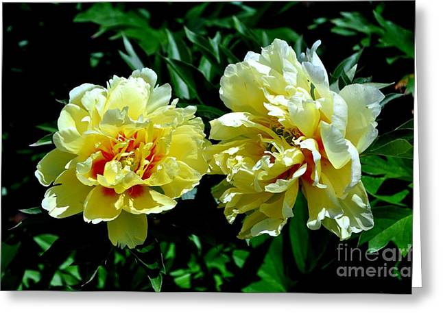 Oregon Greeting Cards - Yellow and Red Peony Greeting Card by Mandy Judson