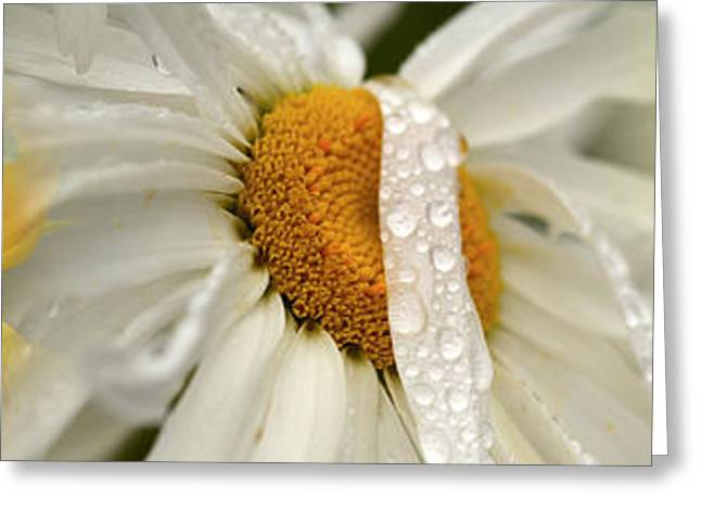 Stamen Greeting Cards - Yellow And White Flowers Greeting Card by Panoramic Images