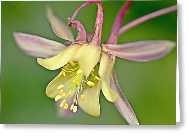 Yellow Aquilegia Bloom Greeting Card by Heiko Koehrer-Wagner