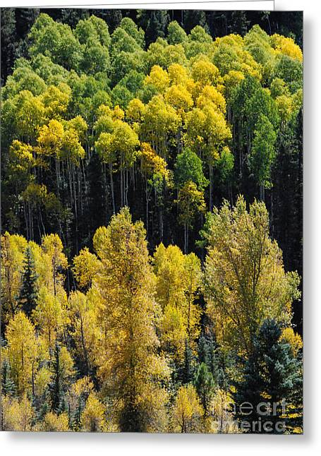 Geobob Greeting Cards - Yellow Aspen along the Dolores River on Highway 145 to  Telluride near Rico Colorado Greeting Card by Robert Ford