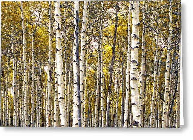 Birch Grove Greeting Cards - Yellow Autumn Birch Trees Greeting Card by Randall Nyhof
