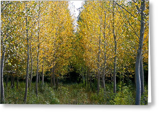 South Of France Greeting Cards - Yellow autumn trees in France  Greeting Card by Nomad Art And  Design