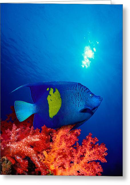 Band Photography Greeting Cards - Yellow-banded Angelfish Pomacanthus Greeting Card by Panoramic Images