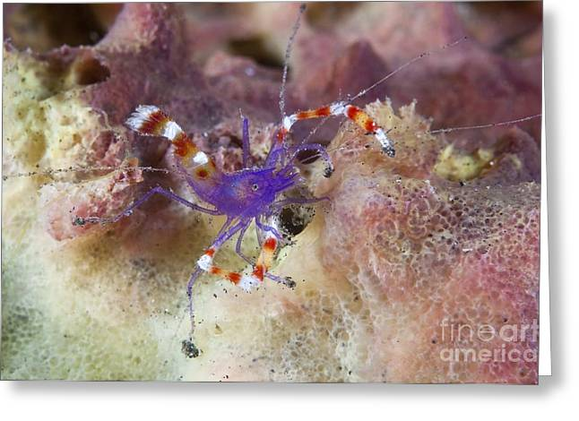 Lembeh Strait Greeting Cards - Yellow Banded Boxer Shrimp Greeting Card by Matthew Oldfield