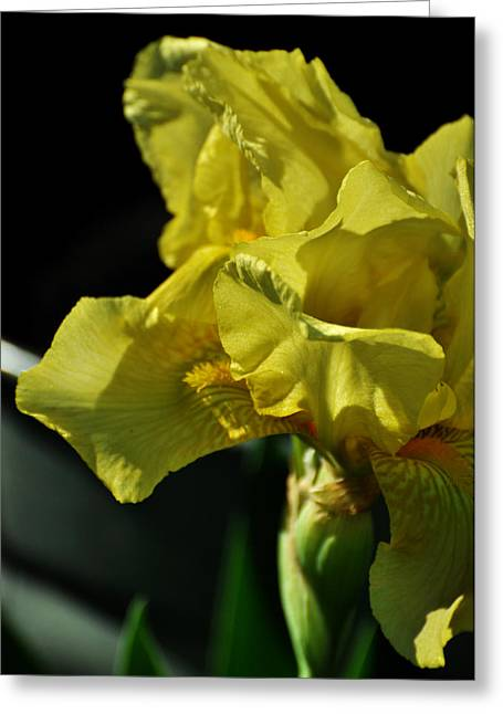Yellow Bearded Iris Greeting Cards - Yellow Bearded Iris Greeting Card by Rebecca Sherman