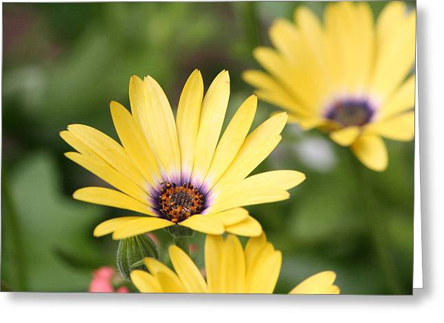 Yellow Beauty Greeting Card by Sue Chisholm
