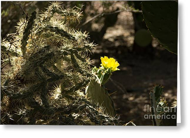 Sedona Greeting Cards - Yellow Beavertail Cactus Flower Greeting Card by Beverly Tabet