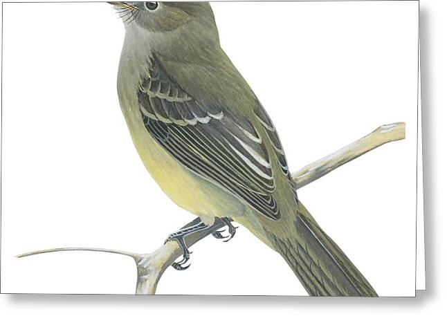 White Background Drawings Greeting Cards - Yellow bellied elaenia  Greeting Card by Anonymous