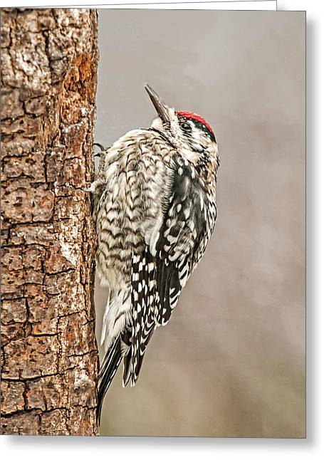 Tree Huggers Greeting Cards - Yellow Bellied Sapsucker Greeting Card by Lara Ellis