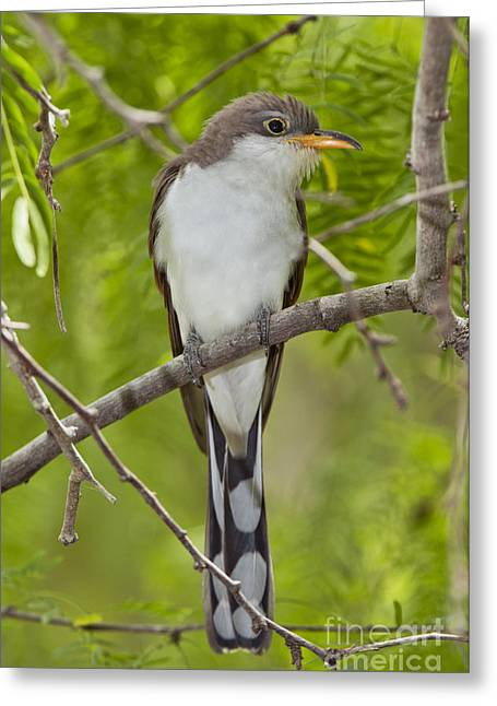 Yellow-billed Cuckoo Greeting Card by Anthony Mercieca